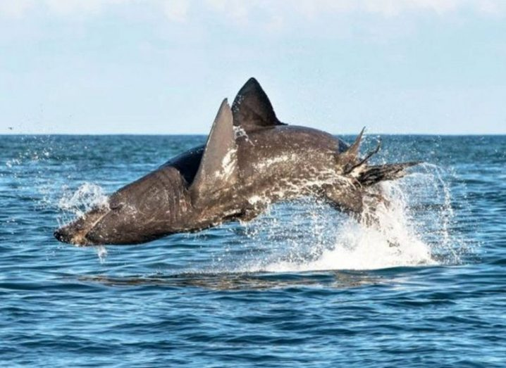 5 basking shark jumping5