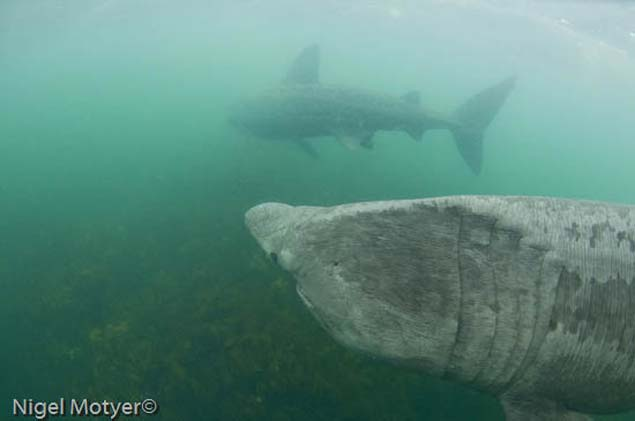 Two Basking Sharks Image Nigel Moyter
