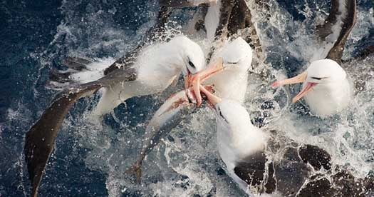 DISCARDS ARE FOOD TO SEABIRDS