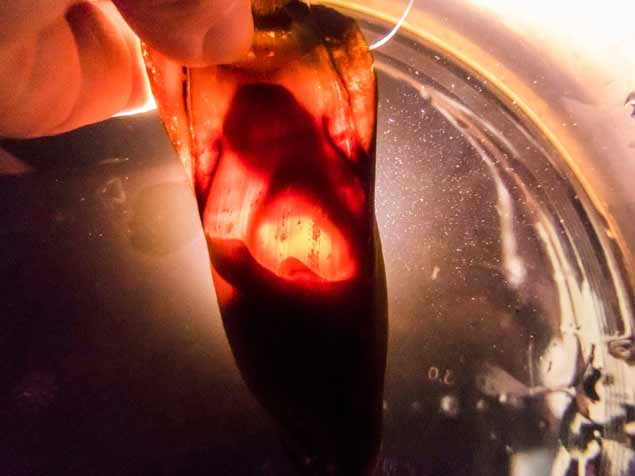 Shark embryo 1