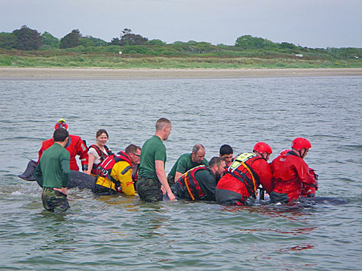 Skerries RNLI assisting beached whale