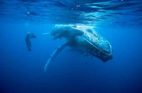 Doug Allan swims beside a Humpback Whale and her calf off the coast of Tonga in the South-Pacific