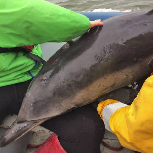 One stranded dolphin is lifted to safety on board Tarbert Rowing Club's inflatable