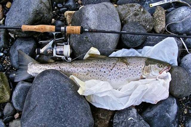 A sea trout caught by an angler in Galway Bay