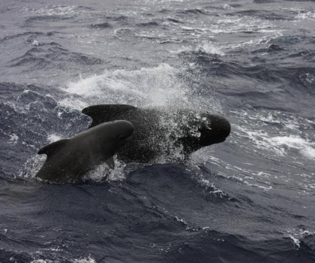 Pilot whales are regularly spotted off the Irish coast