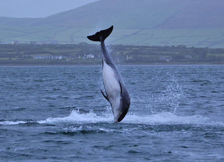 File image of Fungie frolicking near Dingle Harbour