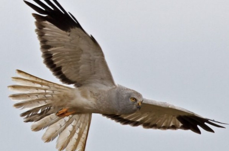 Hen Harrier, Curlew & Corncrake The Focus of Biodiversity Crisis Webinar