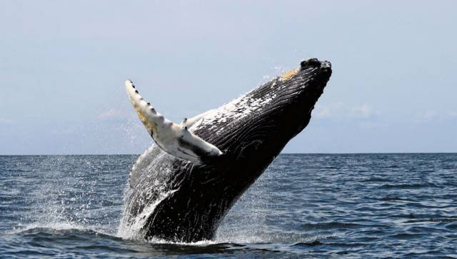 Humpback whales like this one off the US coast are regular visitors to Irish waters