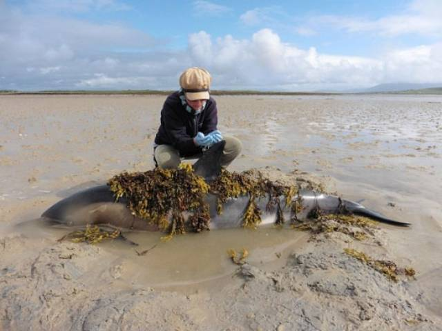 Dr Ophelie Sagnol from the Broadhaven Bay Marine Mammal Monitoring Programme adding seaweed to one of the stranded dolphins to keep its skin cool