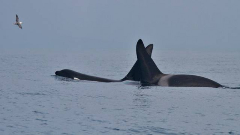 Two killer whales spotted in Dingle Bay in March 2018
