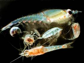 Zooplankton like these were the focus of the Australian study