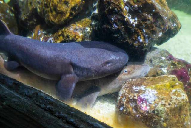 Short Tail Nurse Sharks Breed for First Time at Bray Sea Life Centre