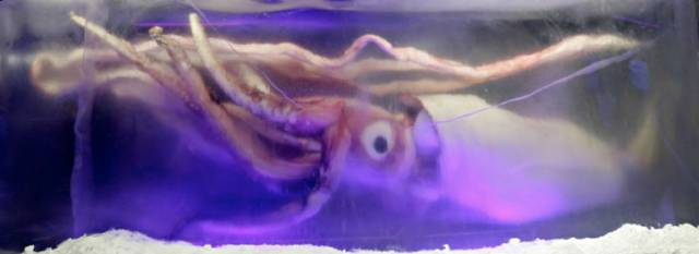 A giant squid preserved in ice at Melbourne Aquarium in Australia