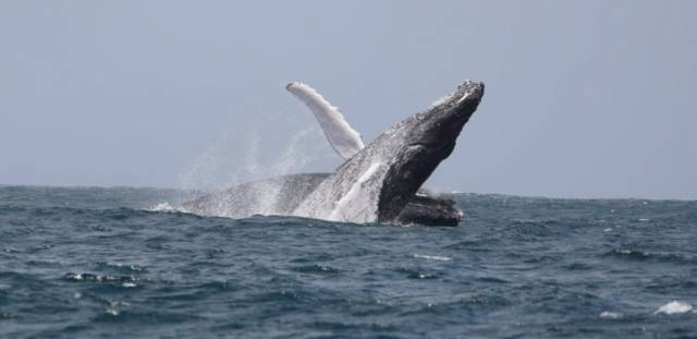 Breeding Grounds For Ireland's Humpback Whales Finally Confirmed In Cape Verde