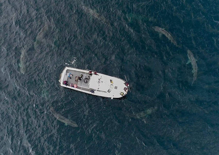 Irish Basking Shark Group drone cameras caught the rarely seen phenomenon off West Clare in mid August