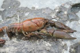 Native white-clawed crayfish like this one have been threatened by outbreaks of crayfish plague