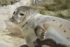 Common seal pups like this one regularly strand on Irish beaches in winter but rarely with severe injuries