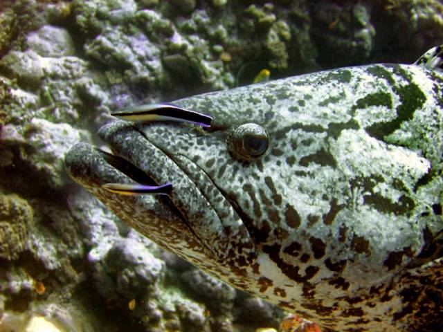 A potato grouper in the Coral Sea off Australia being cleaned by two bluestreak wrasses