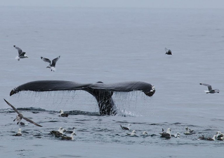 One of the humpback whales spotted on the IWDG's Iceland expedition in May 2018