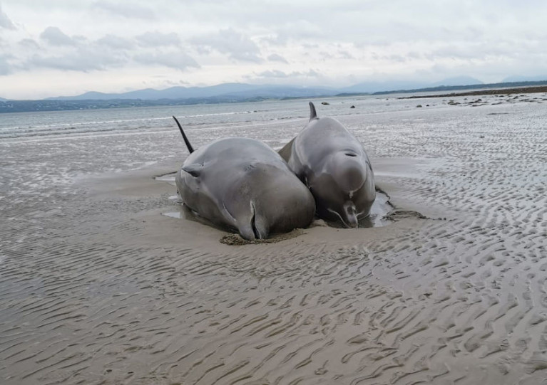 Two of the stranded bottlenose whales that died on Rossnowlagh beach on Wednesday