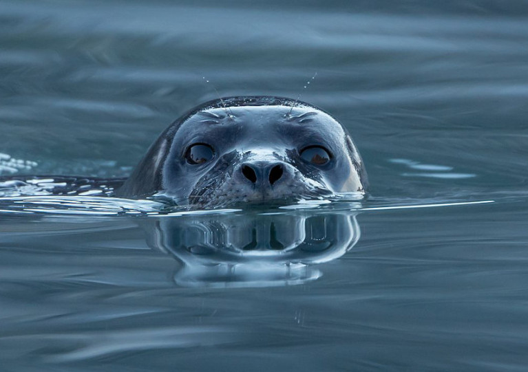 File image of a common or harbour seal