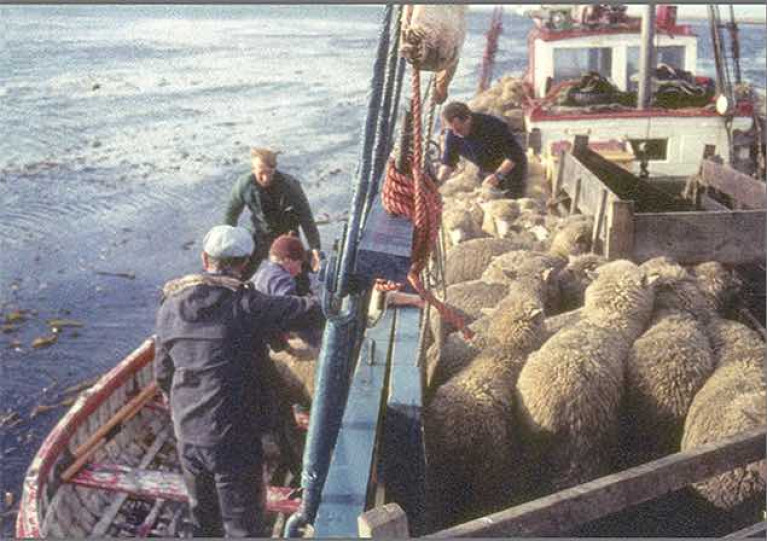 Sheep-shape & Bristol fashion, or a time for woolly thinking……? For 64 years from 1926 until around 1990, deck scenes like this were a regular part of the Ilen's long working life