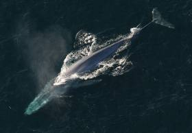 The blue whale is the largest animal known to have ever existed on earth
