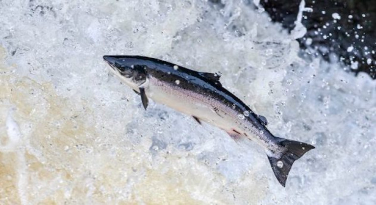 The culturally iconic leaping Atlantic salmon