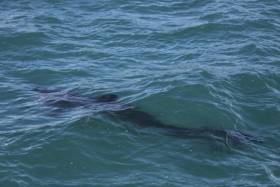 A juvenile basking shark, a species vulnerable to commercial trawling and gill netting