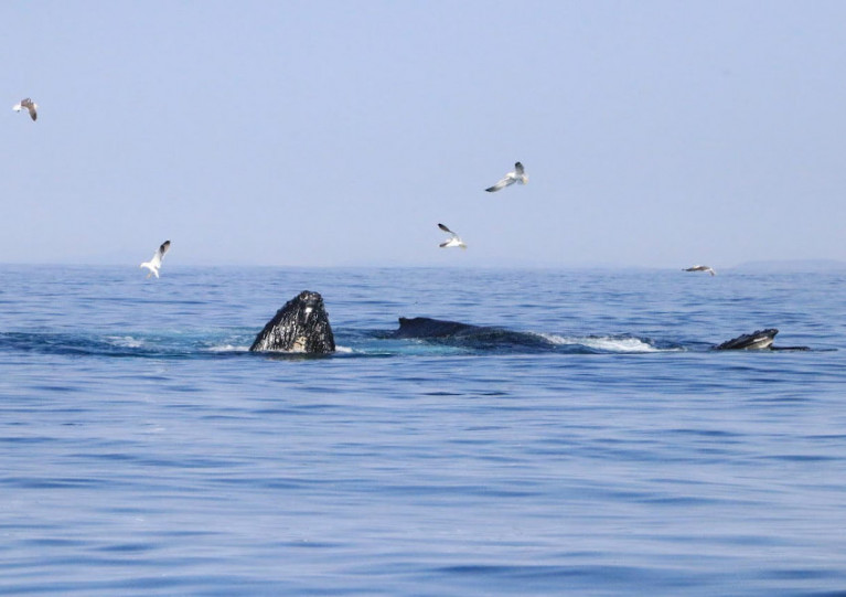Humpback whales at the Deep Hole off West Cork in June 2020