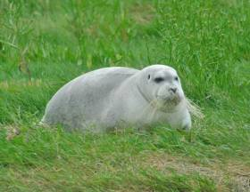The bearded seal has allegedly taken up residence at the Timoleague estuary for the last two months