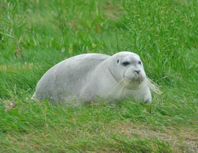 Arctic 'Bearded' Seal In West Cork Baffles Experts