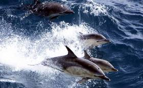A Common dolphin pod breaching off the west coast of Ireland. A public talk on Noise in the Ocean and its impact will be given tonight in Dublin