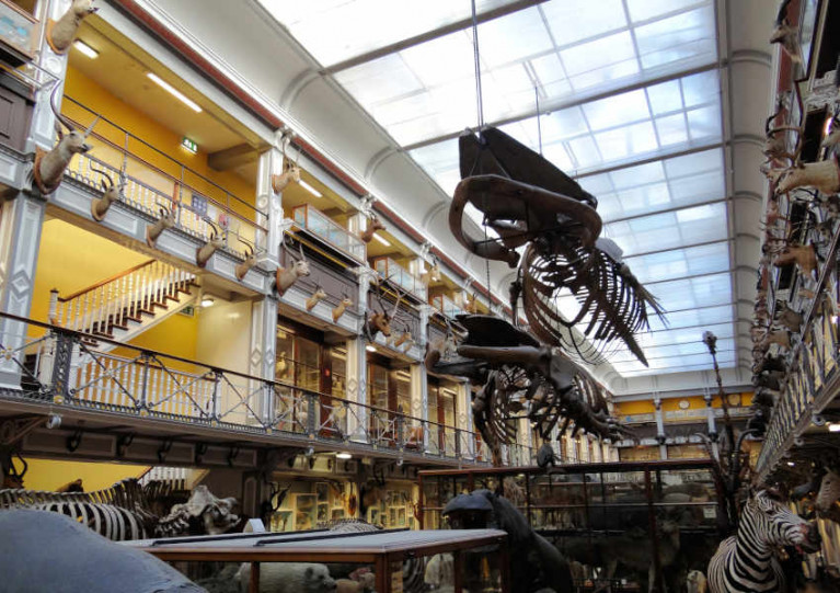 The large whale skeletons suspended from the roof of the National Museum of Ireland - Natural History