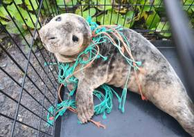 Seal pup Pine was found in Portally Cove on Wednesday