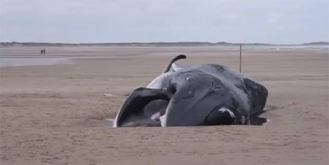 Mystery Of Fin Whale Beaching On UK's North Sea Coast