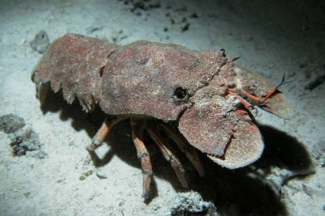 Mediterranean slipper lobster (Scyllarides latus) in its usual habitat