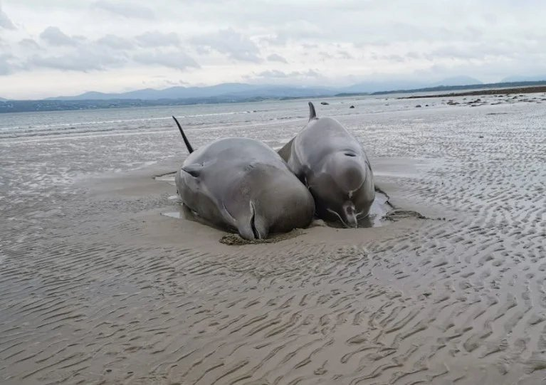 Two of the bottlenose whales that died in the mass stranding on Rossnowlagh Beach earlier this month