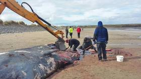 The IWDG team use local authority diggers to examine the sperm whale remains on Streedagh Strand