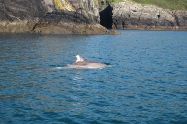 Dolphin Watchers Appeal For Recent Sightings Of 'Bad Boy' Clet