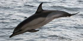In July 2016, in separate cases, three dead dolphins were found on the south-west coast of Ireland in the space of one week, one with a rope around its tail