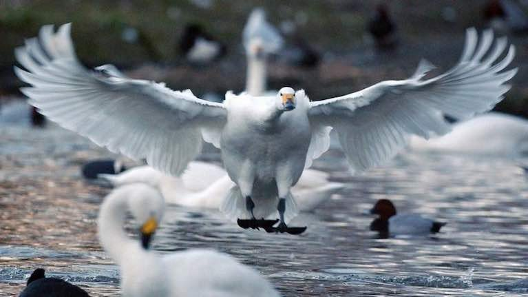 Dead Swan on Lough Beg Found to Have Bird Flu