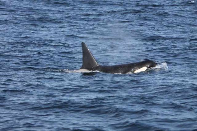 There was great excitement and media interest in the sighting of killer whales off West Kerry over a month ago.