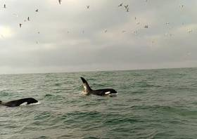 The two orcas sighted off Rockabill on Saturday afternoon