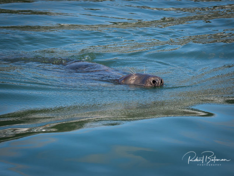 A Cork Harbour Seal at Cobh