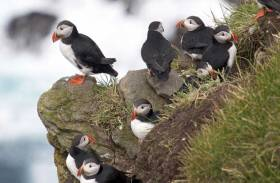 Sailors Asked To Help Spot Migrating Puffins