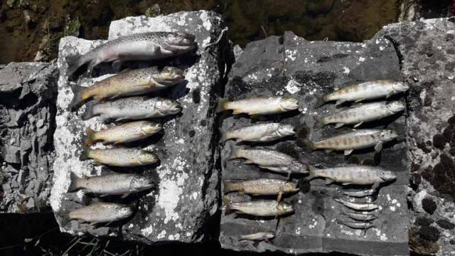 Some of the Salmon and Trout killed on the Ollatrim river. In total, 14,749 fish were estimated dead with dead fish observed over a five kilometre stretch of the river.