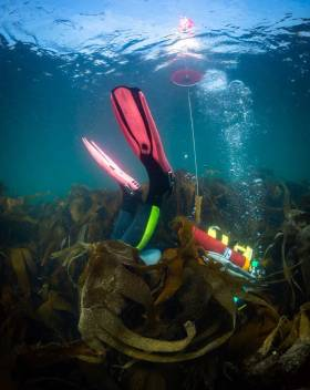 NUI Galway researcher Dr Kathryn Schoenrock diving in a native kelp forest. She is appealing to citizen scientists to help find more examples of the rare golden kelp