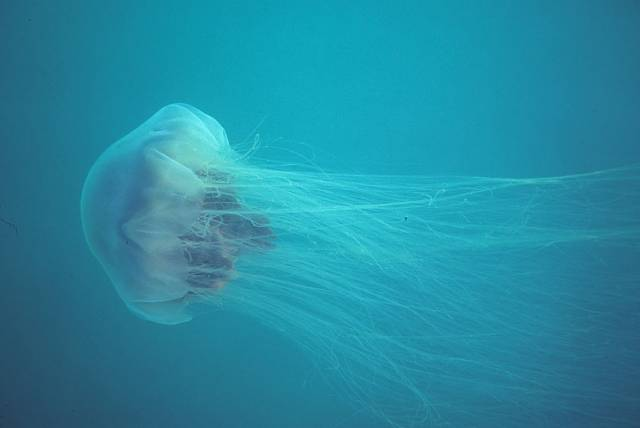 A lion's mane jellyfish in Newfoundland, Canada