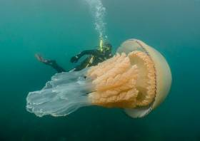 The massive barrel jellyfish encountered off the Cornwall coast on Saturday